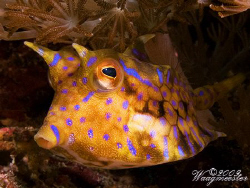 Thorny-back cowfish (Lactoria fornasini) - Crystal bay, N... by Marco Waagmeester 